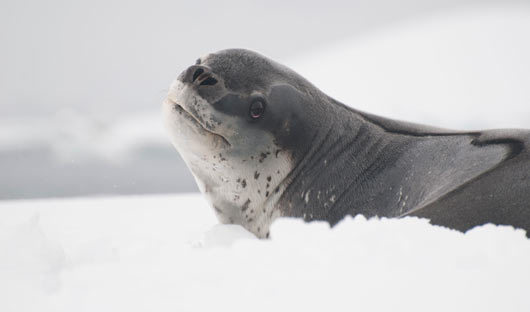 South Georgia Leopard Seal