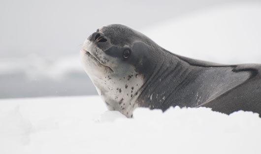 South Georgia Leopard Seal