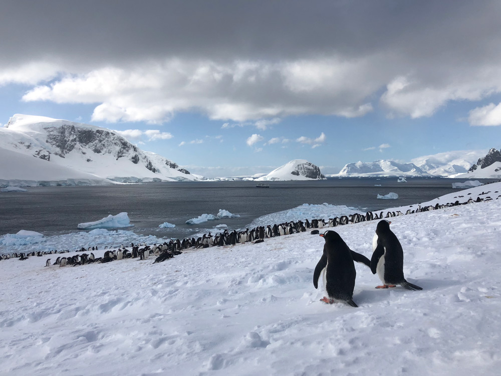 Courting Gentoo Penguins- Antarctic Peninsual by Jacqui Read