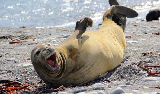 Elephant Seal Laughing by Robert Titchener