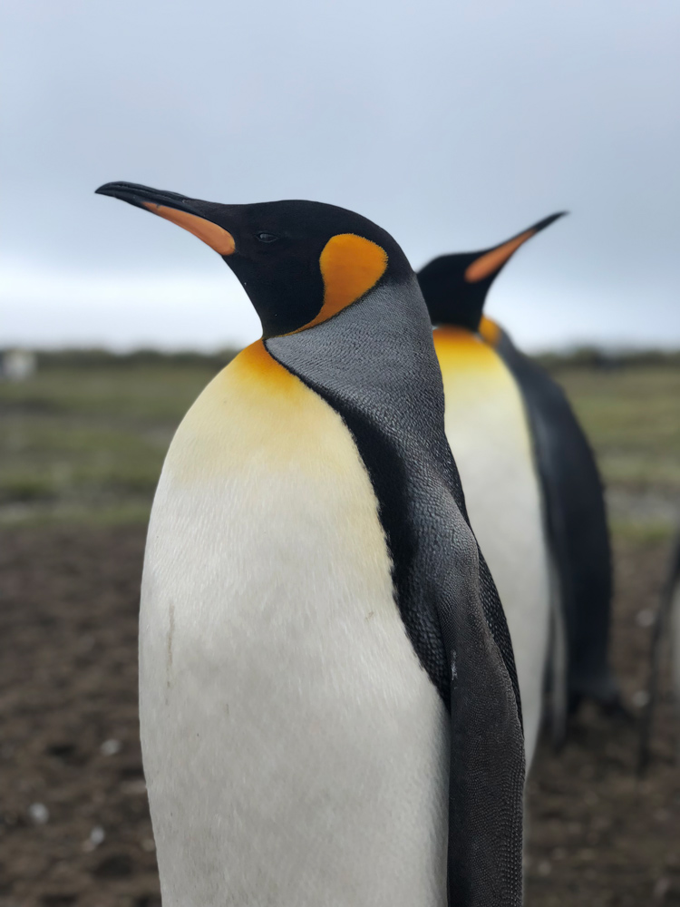 King Penguins- South Georgia by Jacqui Read