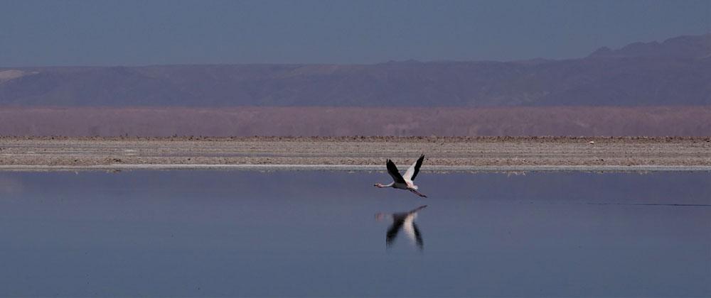 Atacama Flamingo by Lewis Levitz