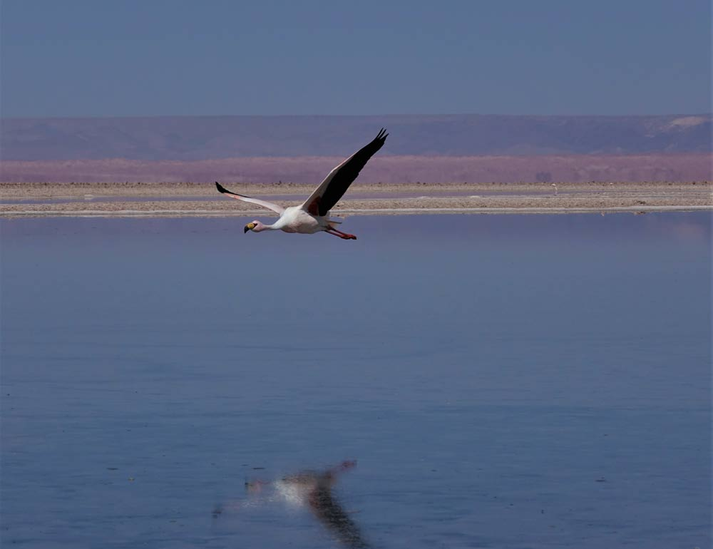 Atacama Flamingo by Lewin Lewitz