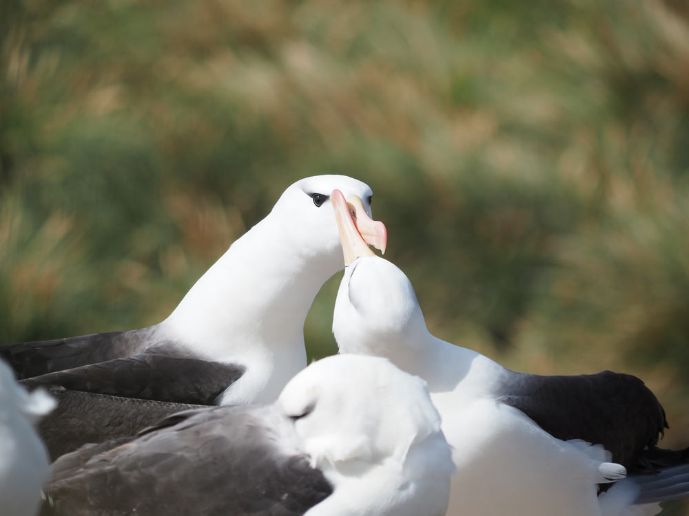 Black browed albatross West Point Island, Falklands by Lee Boag