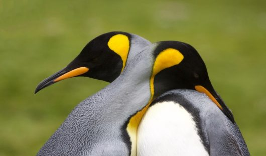 King Penguins, South Georgia by Yvette Jaczina
