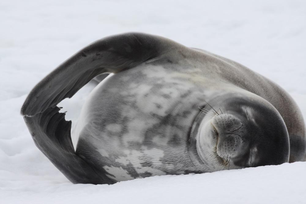 Weddell Seal by Yvette Jaczina