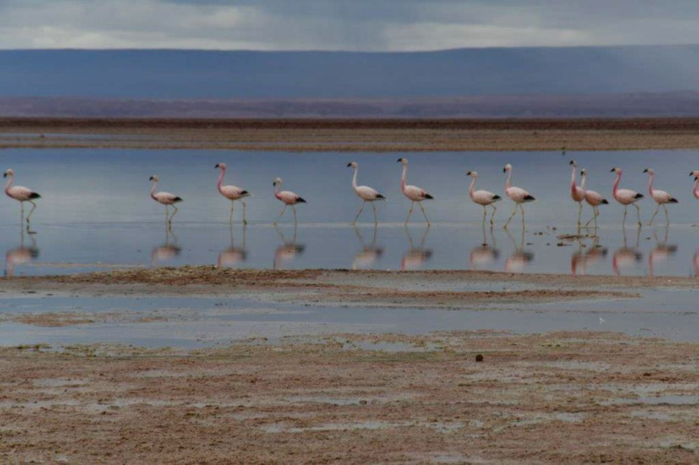 Flamingos on Salt Lakes in the Atacama Desert, Chile by Jill Payne