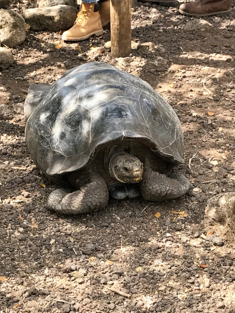 Giant Tortoise, Galapagos by Peter Manger
