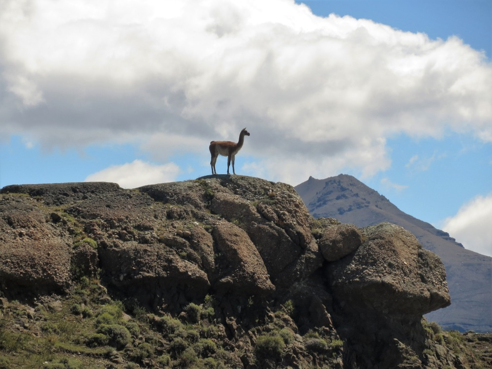 Llama by Peter Manger