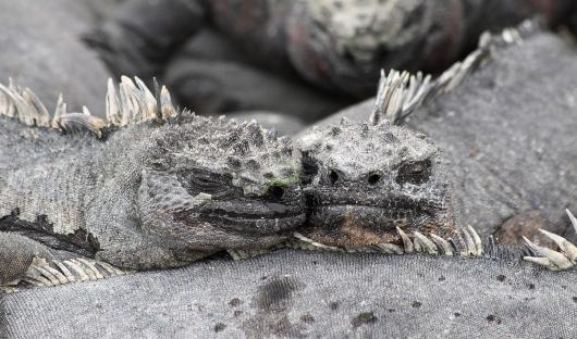 Marine Iguana Feature Image