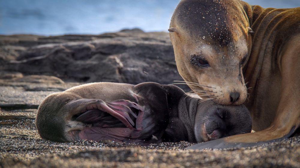 Galapagos sea lion with pup by Andrew Boig