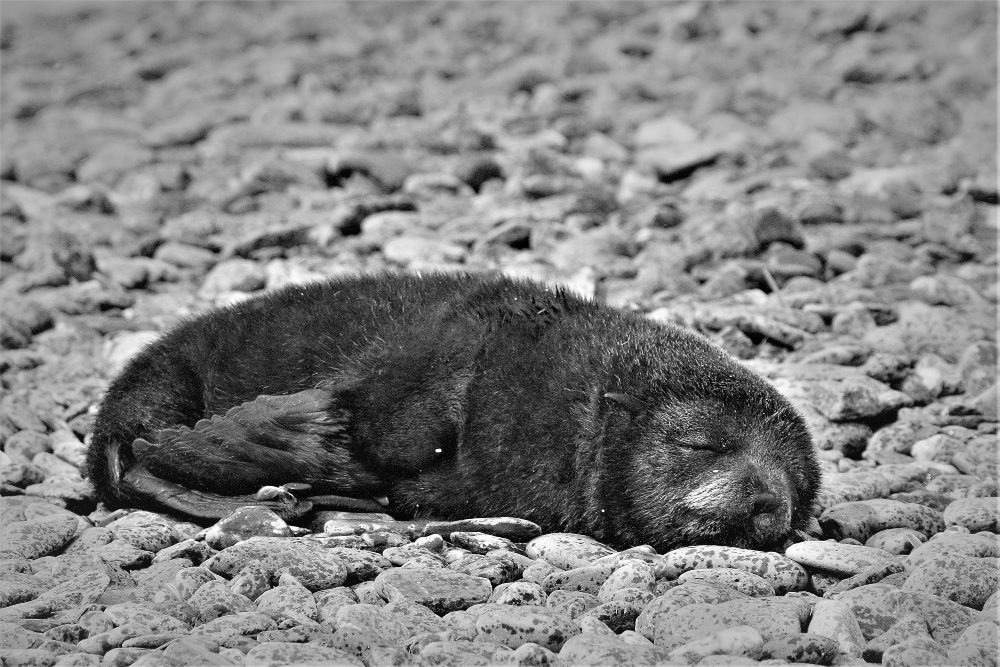 Baby Fur Seal by Stephen David