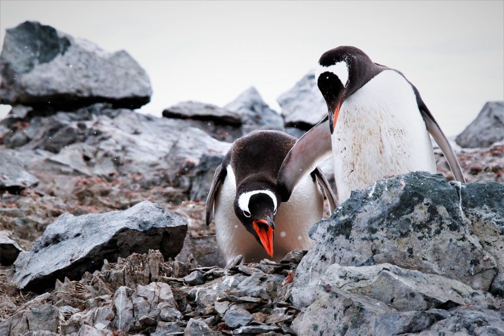 Chatty Gentoo Penguins by Stephen David
