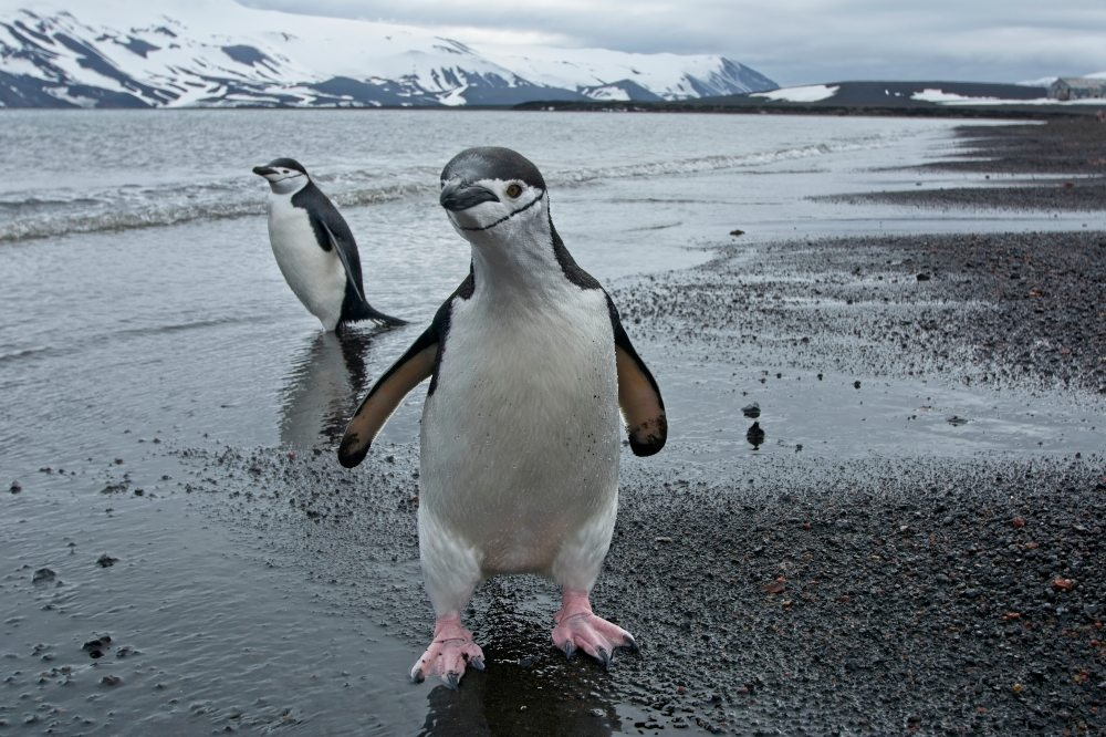 Chinstrap Penguin on Deception Island Antarctica by Adrien Froidevaux