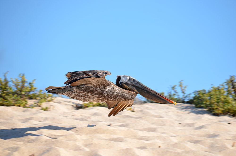 Pelican, Galapagos by Richard Atkinson