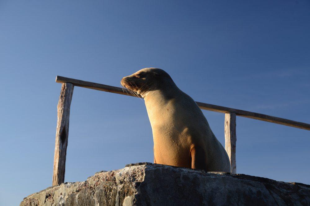 Galapagos Sea Lion by Caroline Van de Pol