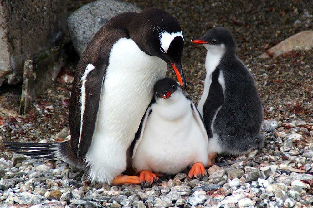 Gentoo Penguin Mum and Chicks by Kim Crofts