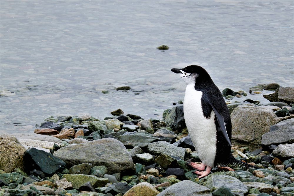 Lone Chinstrap Penguin by Querida David